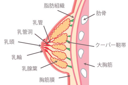 女性の大胸筋